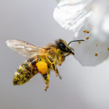 THE HONEY BEE- A MIRACULOUS INSECT